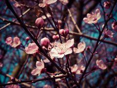 almond-blossom-12291381920